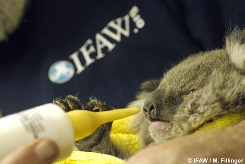 Babykoala2_Australia_beck