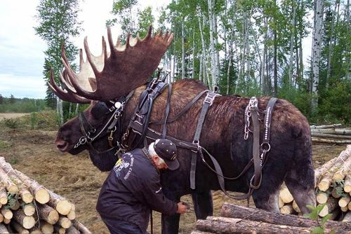 Moose-pet-tame