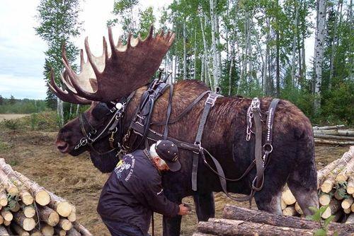 Moose-pet-tame