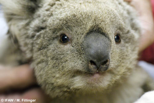 Babykoala_Australia_beck