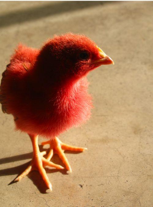 Pink_Chickens_032