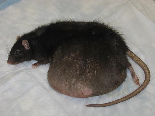 Tumor_rat