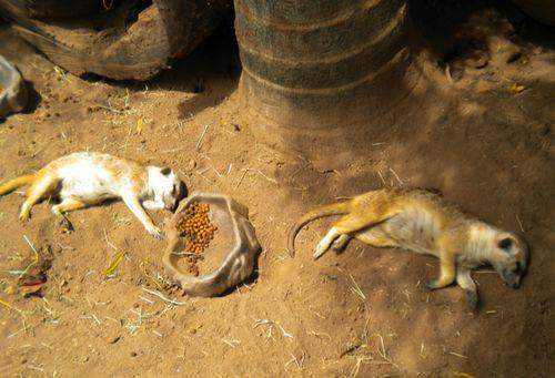 Meercats_SanDiego_Beth1