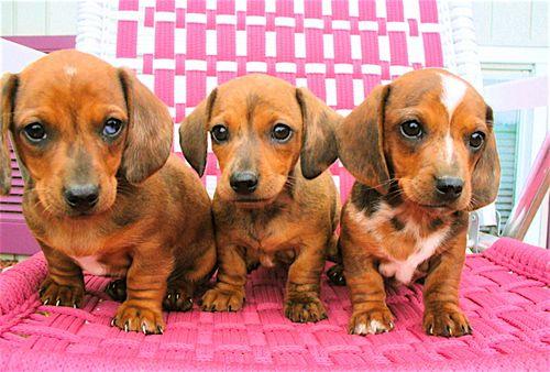 Daschund Pups (1)