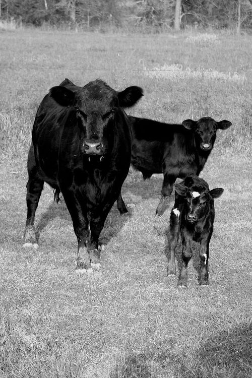 Cowfamily_Arkansas_Lanna