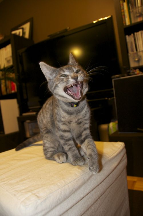Not vicious, just yawning!