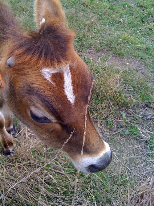 Cow_markings